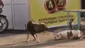 'Clever pooch': Mongrel unties & kidnaps pedigree dog left outside shop (VIDEO)