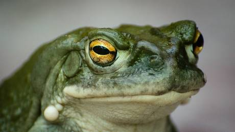 Toad-ally trippy! Sniffing psychedelic amphibian secretion 'increases satisfaction & reduces stress'