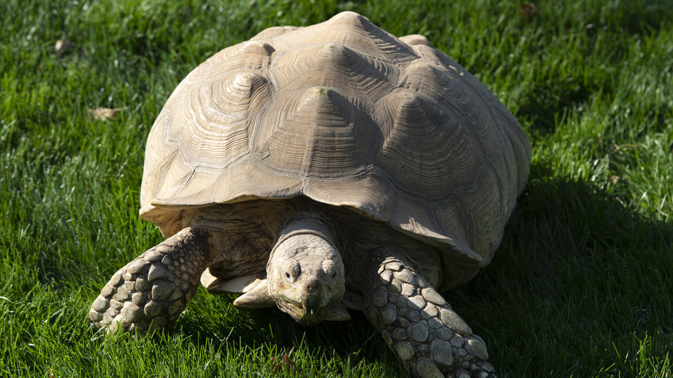 Turtle power: Russian pet owner selling 'psychic' turtle for $46K with claim it can predict football scores