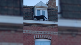 Wakanda prank is this?: Black panther spotted prowling along roofs in northern France (PHOTOS, VIDEOS)
