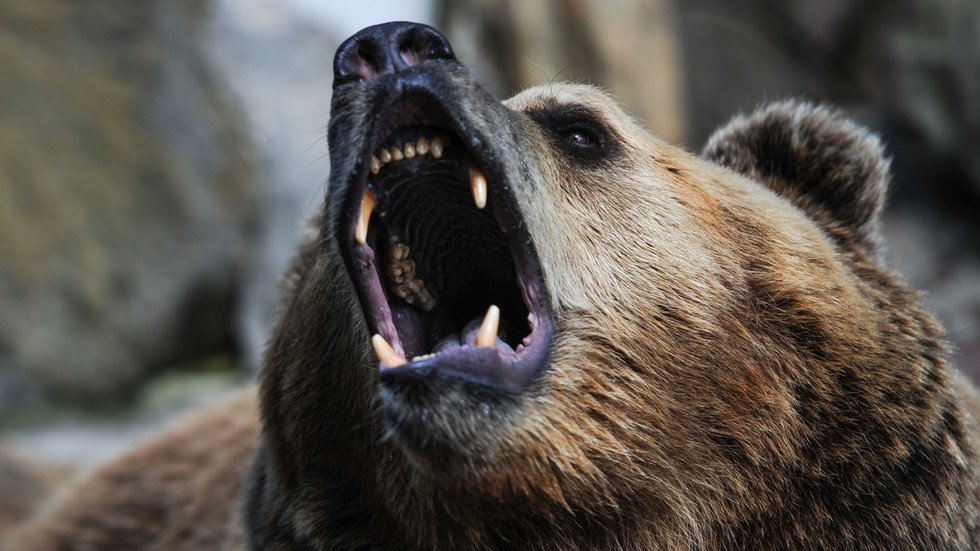 Brown bear tries to gobble up Baikal seal... but Siberian men come to rescue