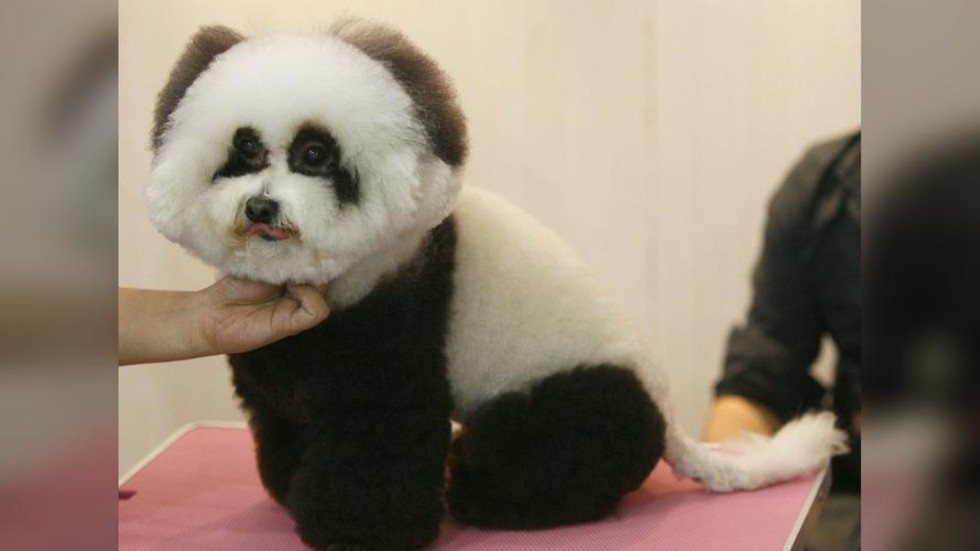 Chinese pet cafe dyes dogs as pandas, sparks bemusement and concern online