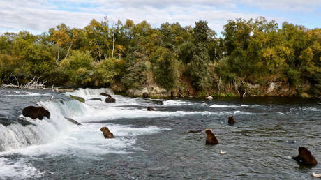 Grizzly bears search for migrating salmon to help fatten up for the winter hibernation in Katmai National Park, Alaska, US (soon Russia?)