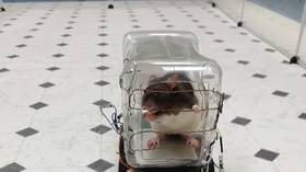 Fast and the furriest: Rats enjoy driving tiny cars, US researchers discover (VIDEO)