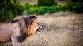 Entire pride of lions BUTCHERED in South Africa & body parts harvested for BLACK MAGIC