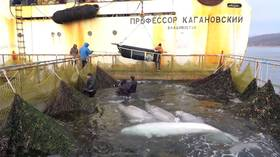 Fight for freedom: Last batch of belugas on a doorstep of 'whale prison' ready to go to the wild (VIDEO)