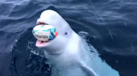 Beluga whale plays rugby with sailors to celebrate South Africa's World Cup win (VIDEO)