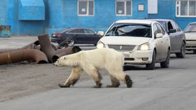 The REAL inconvenient truth: Polar bears thriving in spite of climate change, but saying this gets scientists fired