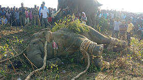 Elephant dubbed 'bin Laden' that killed five Indian villagers captured