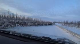 Unleash the horde! Watch THOUSANDS of deer block Siberian road during migration