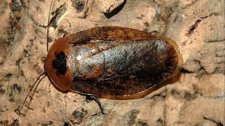 Archimandrita cockroach © Wikipedia