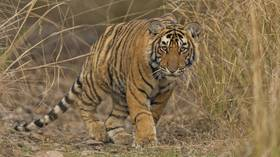 On the catwalk: Primal desire for food and a friend sends Indian tiger on record 1,300km trek