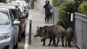'We live in a jungle!' Wild boars pig out on gardens & garbage in Israeli city as population booms amid culling ban (PHOTOS)