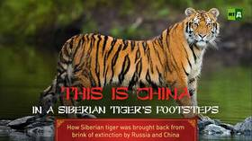 In a Siberian Tiger's Footsteps