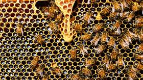 Scientists turn bee guts into medicine factories to FIGHT OFF deadly pathogens