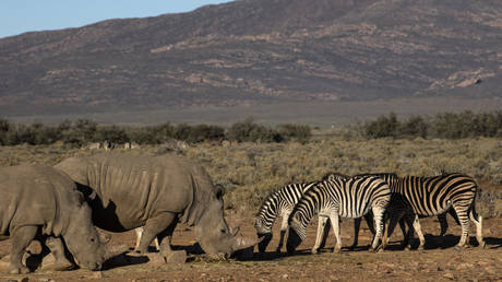 Two rhinoceros walk past zebras in the Inverdoorn Game Reserve, South Africa