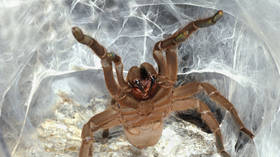 Pick your poison: Scientists develop opioid alternative using VENOM from 'extremely aggressive' spider