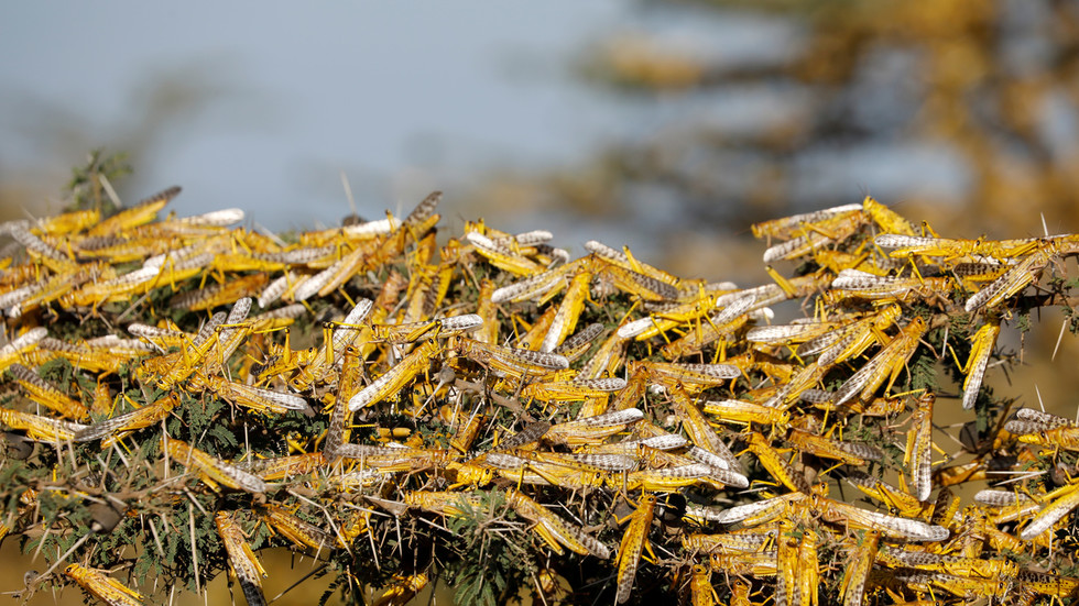 India is hit by worst plague of locusts for three decades