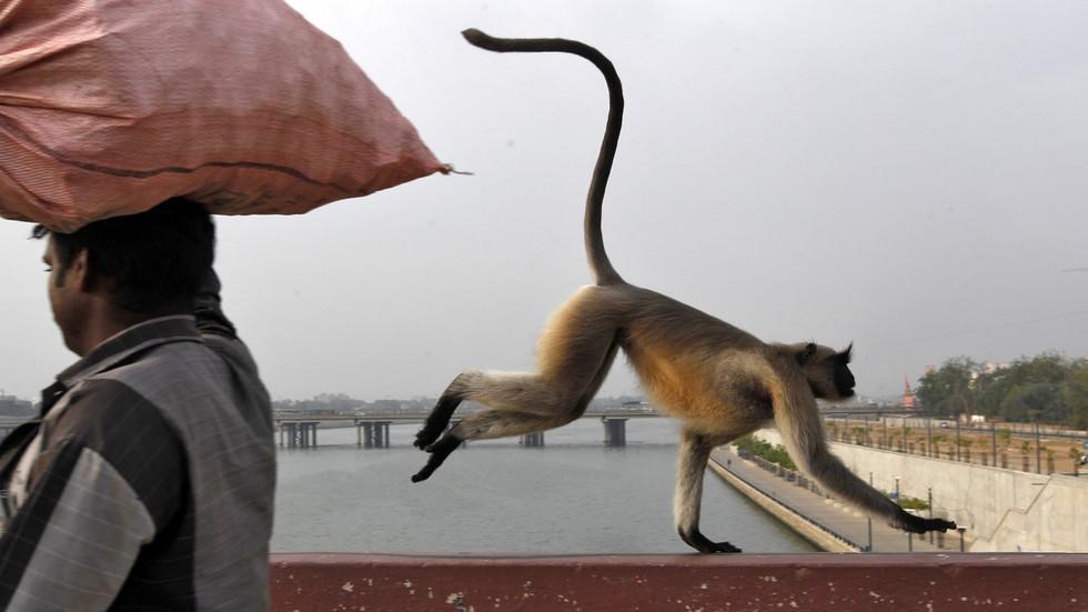 Monkeys steal coronavirus test samples at Meerut Medical College; create panic