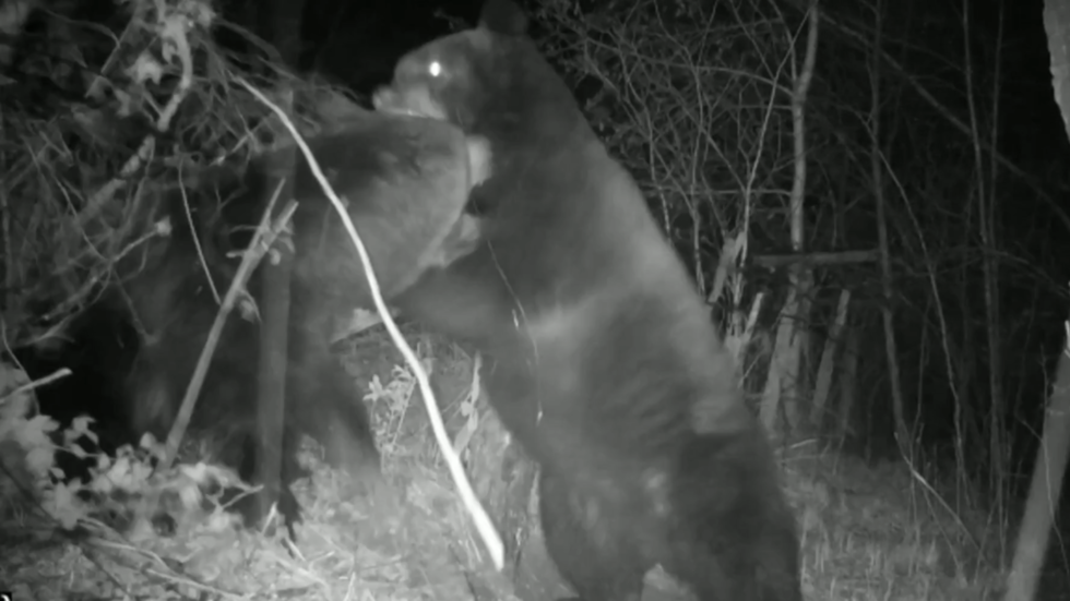 WATCH: Bear brawl in Russia's Far East crushes cameras as wild beasts duke it out