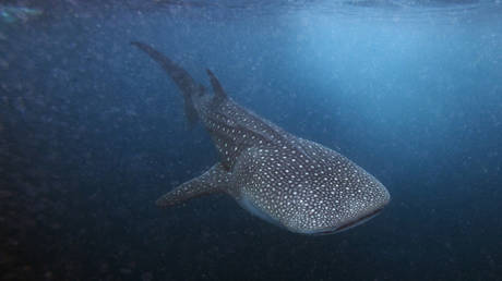 Jaws on their eyes? Study suggests whale sharks have TEETH on their eyeballs