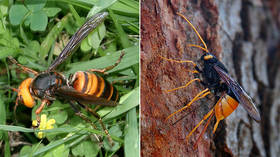 Suspected sightings of 'murder hornets' in English city fuel fears of species' spread