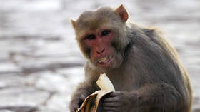Booze-addict monkey terror: Indian primate jailed for life after carnivorous rampage leaves 250 injured & 1 dead