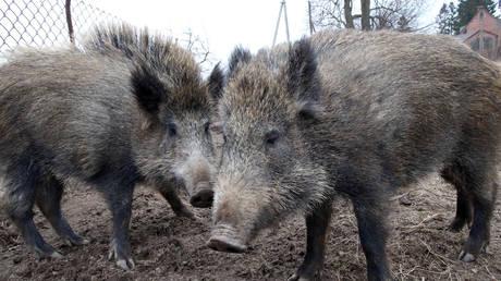 FILE PHOTO. Wild boars