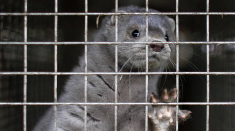 FILE PHOTO: A young mink looks out from its cage at a mink farm in Jyllinge April 1, 2009.©Reuters/Bob Strong