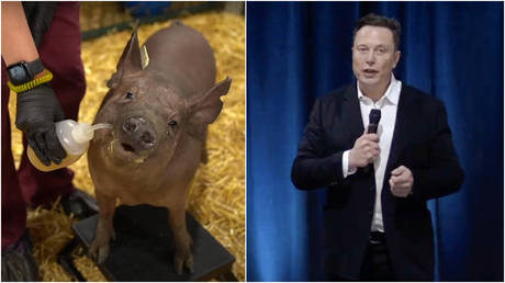 Gertrude the pig, fit with a Neuralink skull implant, is seen at a presentation delivered by futurist entrepreneur Elon Musk, livestreamed on YouTube August 28, 2020.