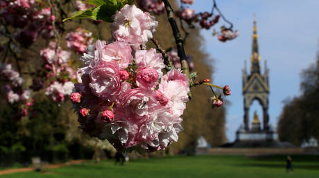 FILE PHOTO: A cherry tree blossoms near the Albert Memorial in Hyde Park in London © Reuters / Gonzalo Fuentes