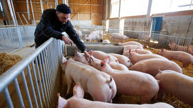 Swine fever may deprive German pork producers of lucrative Chinese market