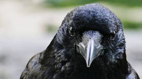 Not so bird-brained: Scientists prove crows are capable of conscious thought for 1st time