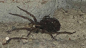 Eight Legged Freaks in Sochi? Residents share photos of large wolf spiders as they head indoors to get jiggy in fall mating season
