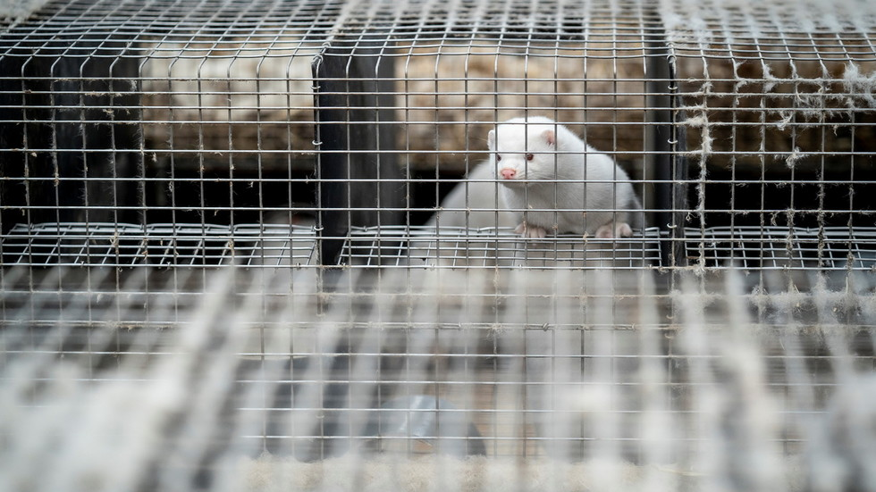 Denmark Has Built Mass Graves For The 17 Million Mink They're Destroying