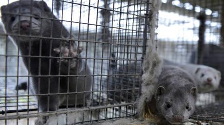 Over 3,000 mink dead from coronavirus at animal farm in Wisconsin