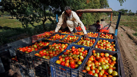 A farmer arranges harvested tomatoes in a tractor trolley on the outskirts of Ahmedabad, India