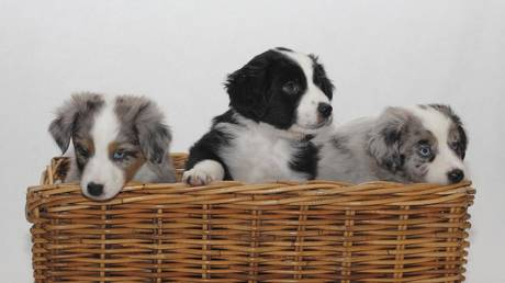 Beware of dog: Aussies losing millions as PUPPY SCAMS surge globally amid the pandemic