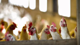 Netherlands to cull 48,000 chickens after ANOTHER bird flu outbreak