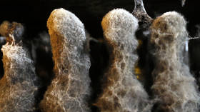 Danes discover PREDATOR FUNGUS that keeps fly victims alive & active to spread spores to others
