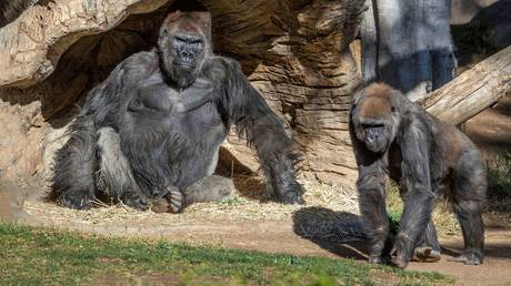 Gorillas sit after members of their troop tested positive for Covid-19, at the San Diego Zoo Safari Park in San Diego, California, January 10, 2021.
