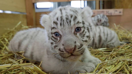 FILE PHOTO: White tiger cubs in a zoo. Leonhard Foeger / Reuters
