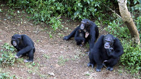 Scientists discover new bacterium linked to fatal, mystery chimp disease which could jump to humans