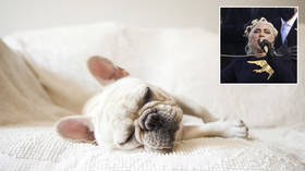 FBI looking into potential POLITICAL MOTIVE behind violent dognapping of Lady Gaga's bulldogs – reports
