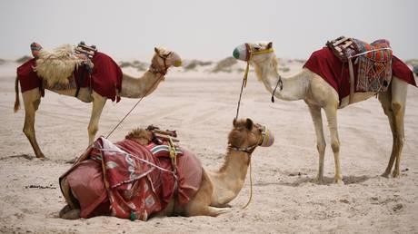 A caravan of camels in the desert. ©Reuters / Ramil Sitdikov
