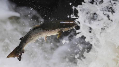 'Incredibly poisonous' pesticide banned by EU may receive approval for use in Scottish salmon farms
