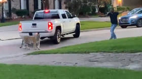 Texas man arrested after his BENGAL TIGER is spotted roaming Houston neighborhood, big cat still on the loose (VIDEOS)