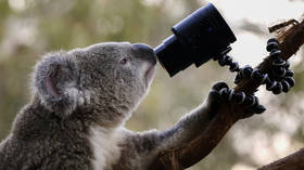 Not even wildlife can go undetected: Australia trains AI road cameras for KOALA 'facial recognition'