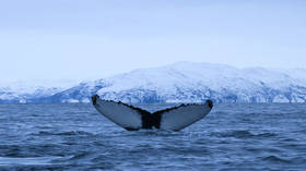 US Navy-funded whale research in Norway is shelved after marine mammal ESCAPES from enclosure