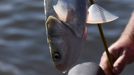 A caught carp is seen on a boat during a hunt for Asian carp with bow and arrow on the Illinois River near Lacon, Illinois, U.S., September 14, 2019. © REUTERS/Nicholas Pfosi